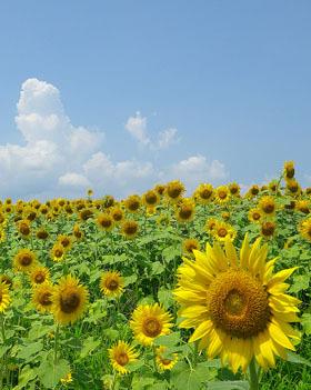丹生湖の丘のひまわり畑 ♪