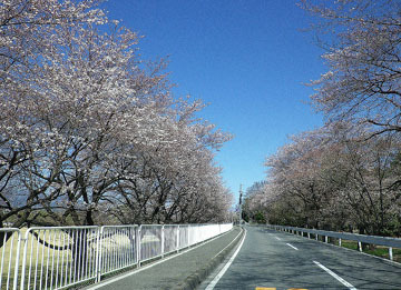 敷島公園のしだれ桜 ♪