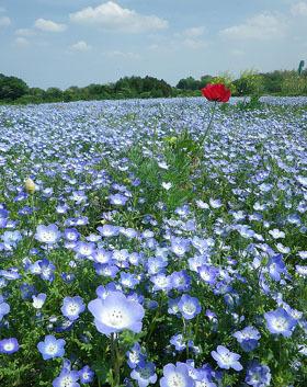 第14回 鼻高展望花の丘「菜の花祭り」 ♪