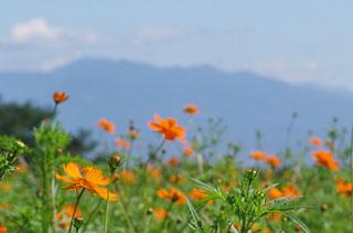 鼻高展望花の丘「コスモス祭り」 ♪