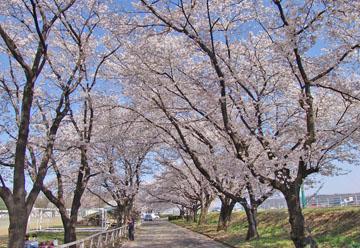 運動公園の桜 ♪
