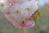 (続)白井宿の八重桜まつり ♪