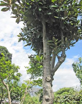 フェイジョアの木 ♪
