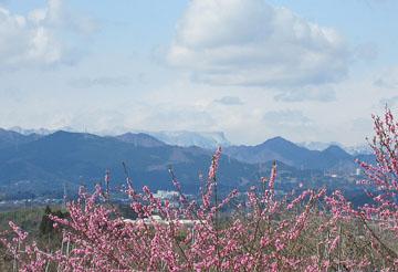 白い荒船山と桃の花 ♪