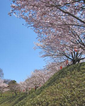 後閑城址の桜 ♪