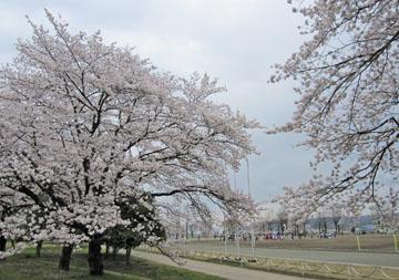 散歩道の桜らんまん ♪