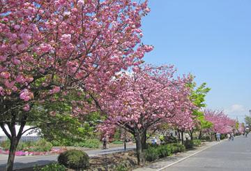 八重桜 満開 ♪
