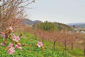 渋川市 / かわづ 桜の丘白井 ♪