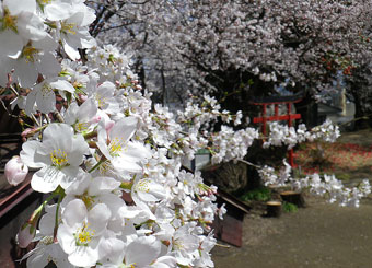 安中の桜 ♪