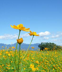 「鼻高展望花の丘」のコスモス2011 (続) ♪