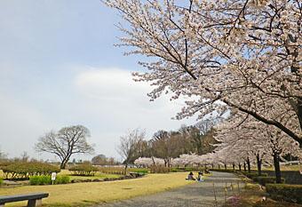 乗附緑地の桜 ♪