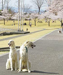 富岡市 / もみじ平総合公園の桜 ♪