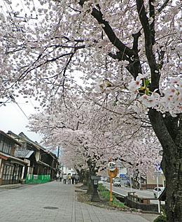 「城下町小幡」の桜 ♪