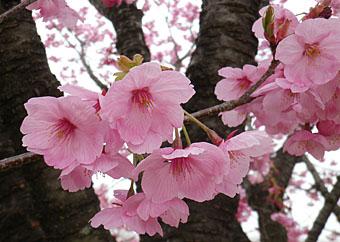 榛東村/相馬原駐屯所の桜 ♪