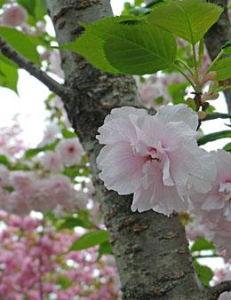 白井宿/満開の八重桜 ♪