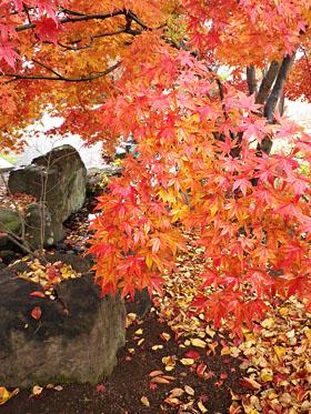 雨の紅葉 ♪
