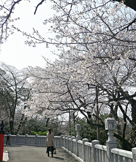 高崎/観音山の桜 ♪