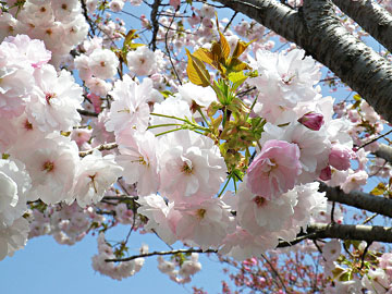 白井宿の八重桜 ♪
