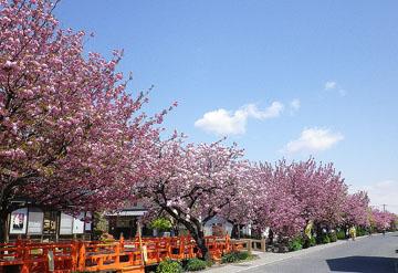 白井宿の八重桜(続) ♪