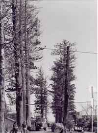安中のスギ並木が伐採されたときの写真 ♪