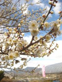 第28回 榛名の梅祭り