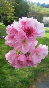 グリーン牧場の八重桜は満開♪