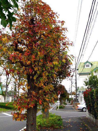 フウの木の想い