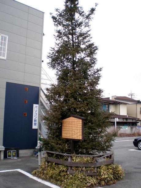 伝説の樅(もみ)の木