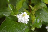 八重のどくだみの花