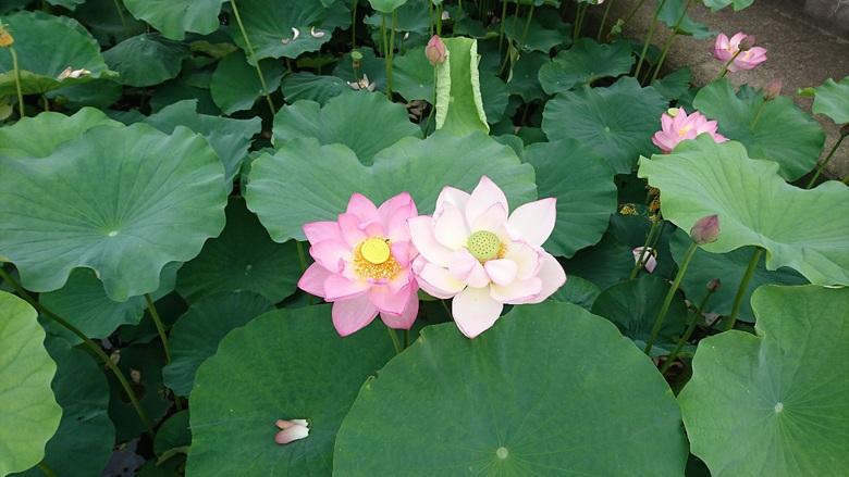 ☆乗明院の蓮の花☆