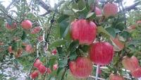 りんご狩り 始まりました♪