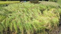 台風の後の稲刈り