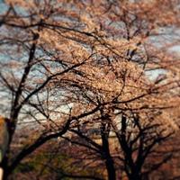 安中 桜並木