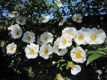 白色のバラとモッコウバラ