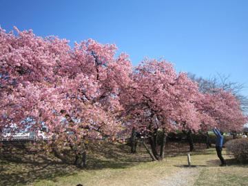 敷島町の河津桜