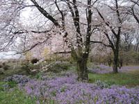桜と花大根