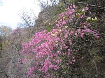 三ツ岩岳のアカヤシオ