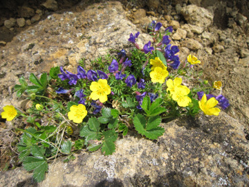 八ケ岳で出会った花たち