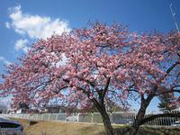河津桜・風にゆれて