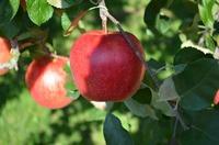 沼田へリンゴの買出し
