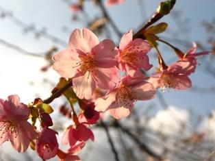 河津桜と桜ロール☆