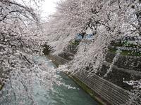 前橋・前橋公園は桜色