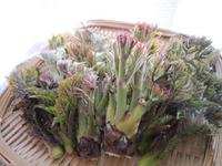 タラノ芽の天ぷら