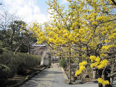 黄色のサンシュユ