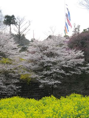 桜と菜の花とこいのぼり