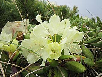 八ヶ岳(硫黄岳~横岳)出会った花たち