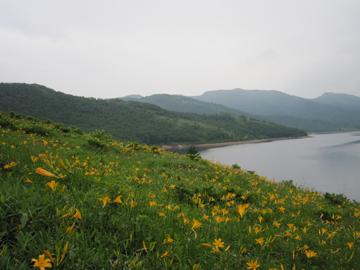野反湖のニッコウキスゲ