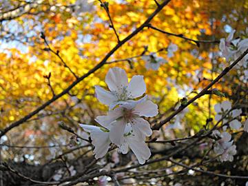 桜山公園の冬桜