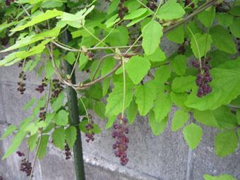 「ミツバアケビ」の花