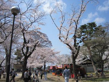 高崎公園のサクラ